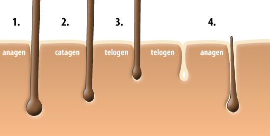 Anagen Refers To When The Follicle Is Actively Pushing Hair Upward It Takes A Lot Of Cellular Activity Make This Hen And Busy